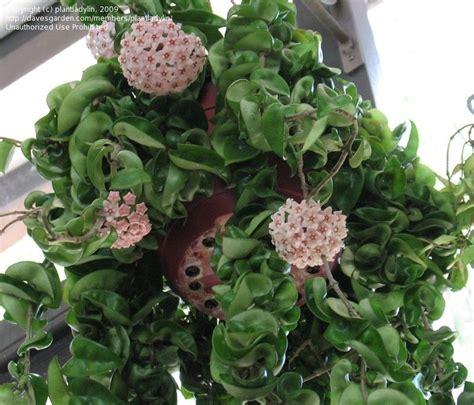 What Garden Zone Am I In By Zip Code - plantfiles pictures hoya species wax plant hindu indian angel porcelain