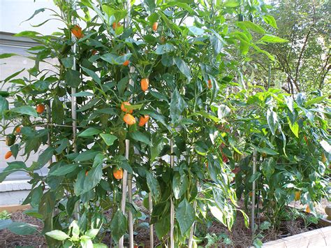 Should You Stake Pepper Plants?   Bonnie Plants