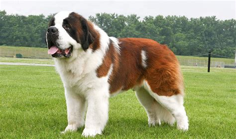 how much are st bernard puppies how much is a 2015 vet autos post