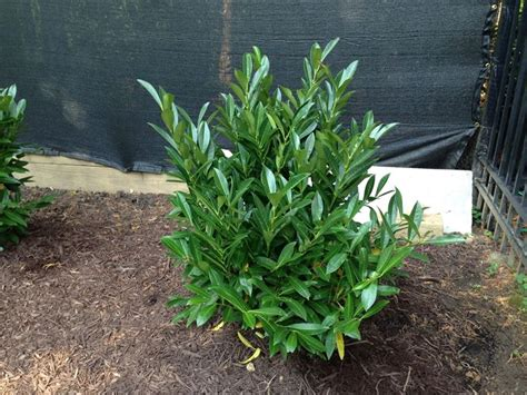 lauroceraso in vaso lauroceraso piante da giardino coltivare il lauroceraso