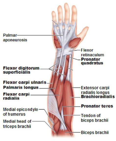 arm muscles diagram skeletal review