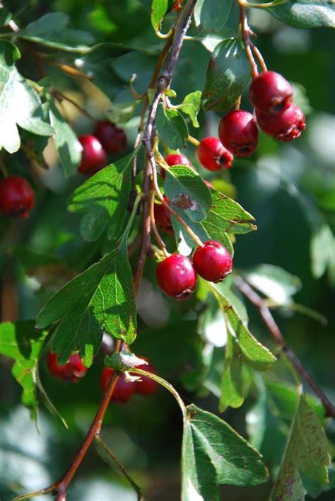 winter berries garden pinterest