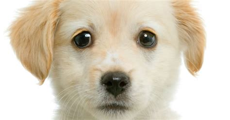 what are the symptoms of parvo in puppies understanding parvovirus in puppies