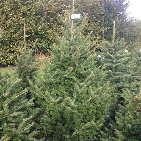 canaan fir christmas trees for sale sendmeachristmastree