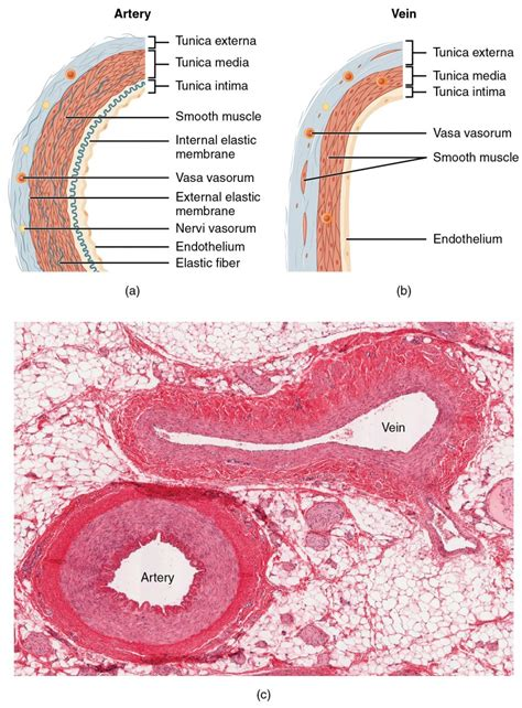 cross section of an artery structure and function of blood vessels anatomy and