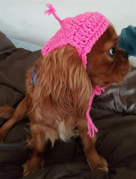 puppies for sale bend oregon akc chion pedigree cavalier king charles spaniel puppies for sale from happy