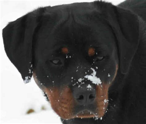 rottweilers in ohio german rottweiler for sale in ohio dogs in our photo