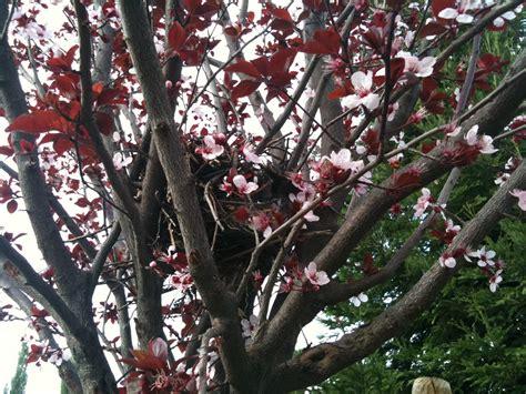simply very chey fruitless plum tree