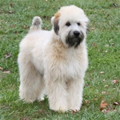 soft coated wheaten terrier puppies for sale soft coated wheaten terrier puppies for sale