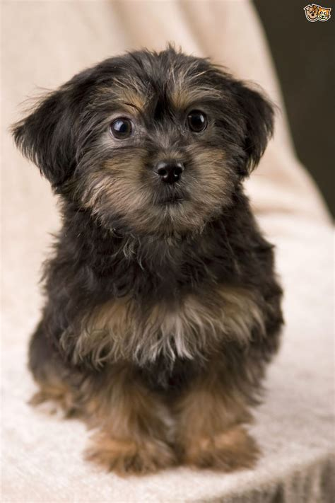 yorkie mixed breeds yorkiepoo yorkapoo yoodle a unique mixed breed pets4homes