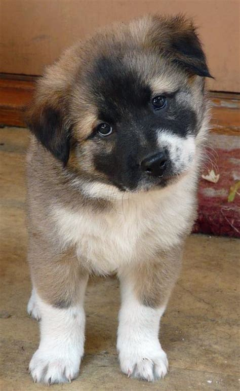 german shepherd akita mix akita shepherd akita x german shepherd mix temperament puppies pictures