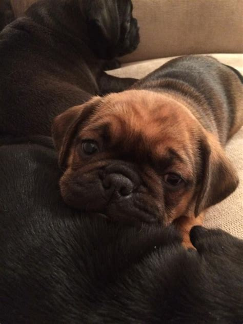 pug hybrid breeds pug mix breed puppies widnes cheshire pets4homes