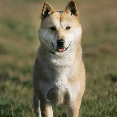 jindo dogs jindo breed guide learn about the jindo