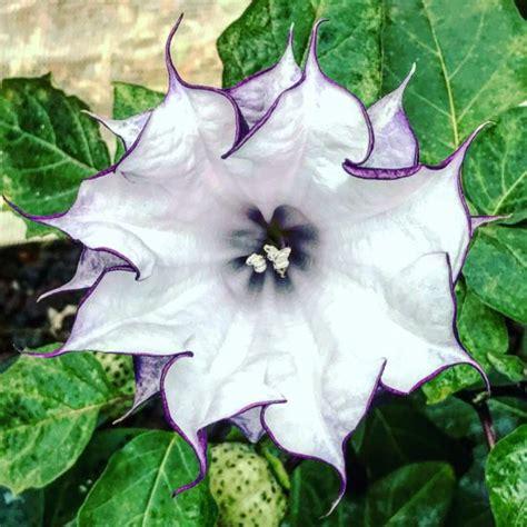 datura fiore datura metel s trumpet seed herbalistics