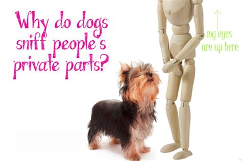 why do dogs sniff why do dogs sniff humans in their parts petcha