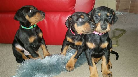 doberman puppies for sale in pin doberman puppies for sale 0014jpg on