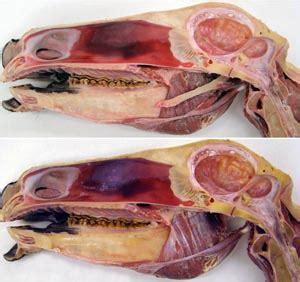 ungulate anatomy lab