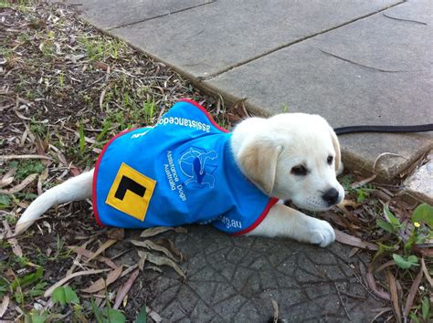 how are guide dogs trained guide in aww