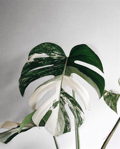 amazing leaf  monstera borsigiana variegata phot