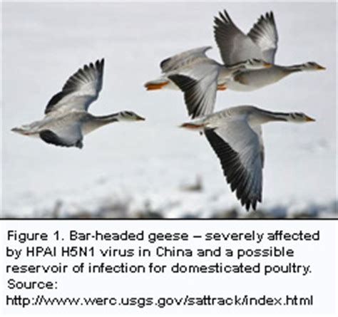 avian influenza migratory birds and stable isotopes
