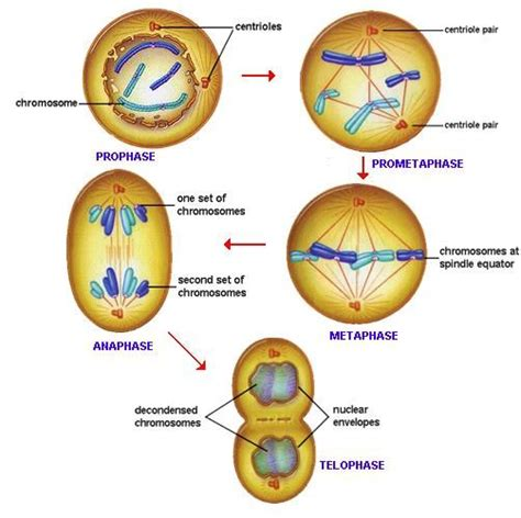 diagram of anaphase cell division prophase prometaphase anaphase