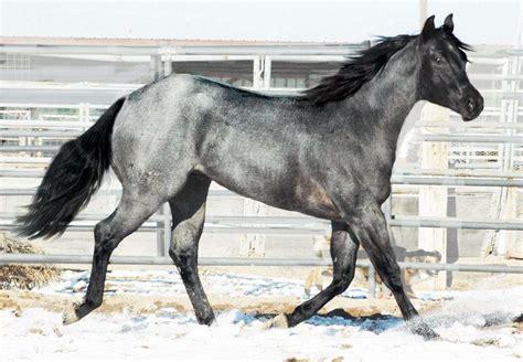 blue horses for sale in homozygous blue roan black blue roan stallion