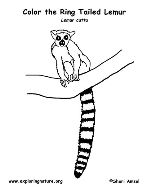 Lemur Ring Tailed Coloring Page Lemur Coloring Page