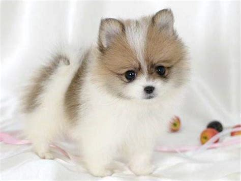 pomeranian sounds pomeranians husky are they to breed