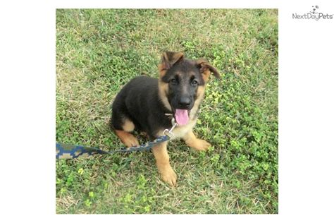 german shepherd puppies for sale in va dogs for sale puppies in virginia va breeds picture