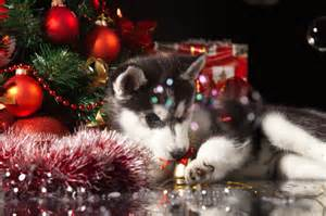 so you want a husky puppy for christmas
