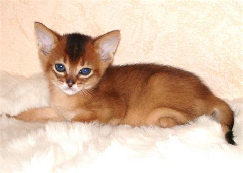 abyssinian kittens for sale abyssinian kittens for sale florida about animals
