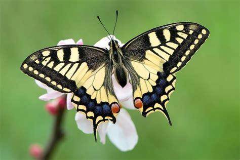 mariposas de espaa y 191 d 243 nde viven las mariposas