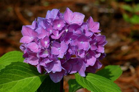 Decorating Ideas For Small Living Rooms Learn To Change The Color Of Your Hydrangeas