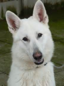 High quality imported dogs for sale white german shepherd dogs