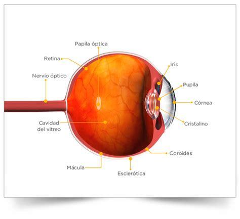 imagenes de ojos humanos y sus partes partes del ojo humano sym