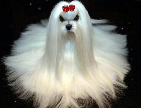show pictures of puppies search results for maltese grooming styles pictures black hairstyle and haircuts