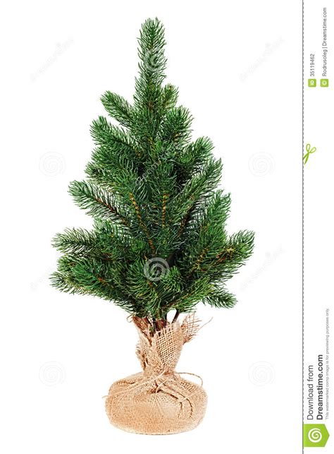 fir tree for christmas isolated on white background stock