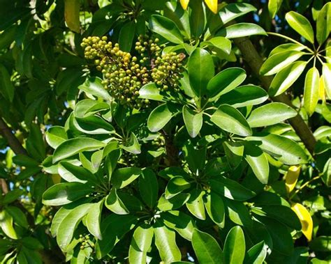 piccole piante da interno schefflera schefflera actinophylla piante da interno