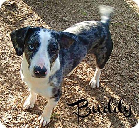 dachshund puppies ma buddy adopted groton ma catahoula leopard dachshund mix
