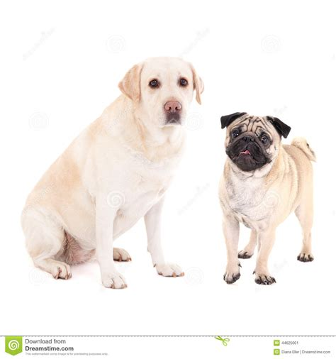pug golden retriever mix dogs pug and golden retriever isolated on white stock image image 44625001