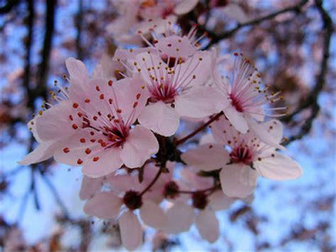 fiori di pruno quelli parlano agli alberi lo spirito degli alberi