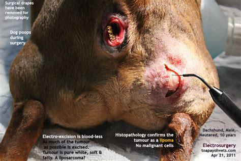 liposarcoma in dogs lipoma treatments page 33