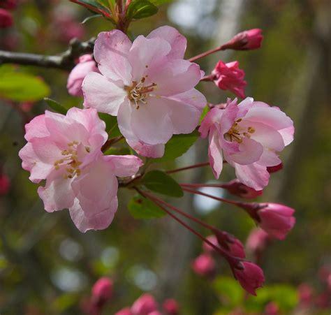 crab apple blossom kaidou flickr photo sharing