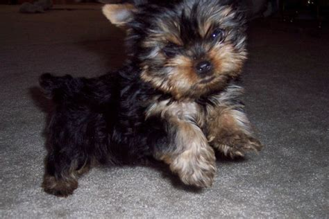 baby doll yorkies pin by kory feick on courtashashyorkies