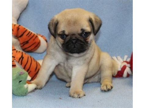 pug breeders alabama 2 pug puppies available animals adamsville alabama announcement 33731
