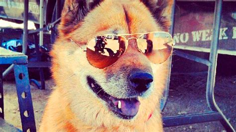 puppies wearing sunglasses dogs wearing sunglasses 34