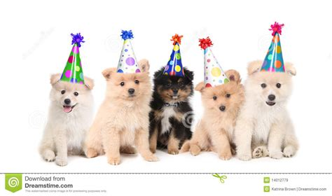 birthday puppies five pomeranian puppies celebrating a birthday royalty free stock images image 14012779