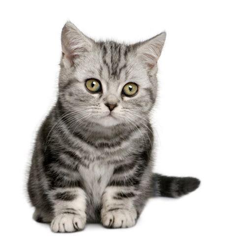 Gray Kitten Pictures   www.pixshark.com   Images Galleries
