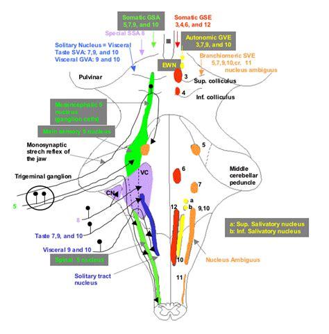 vestibulocochlear reflex cranial nerves nuclei