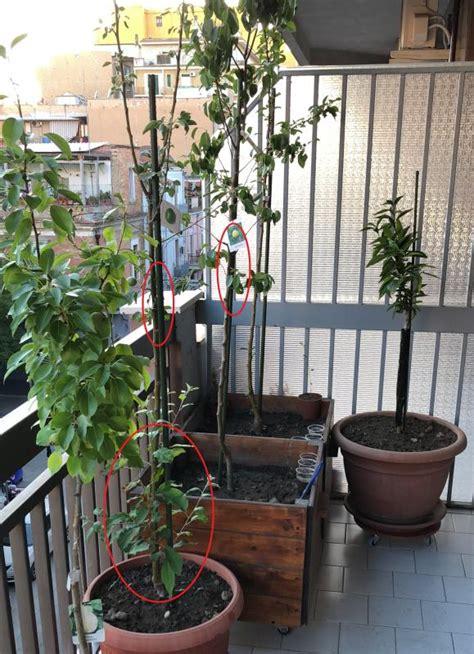 alberelli in vaso le domande all esperto su piante da frutto